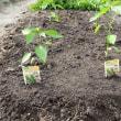 代掻きと苗の植え付け