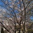 シーズンは終わったが、桜 京都市 六孫王神社~宇賀神社~墨染寺・・・どこもかも見事ですネー