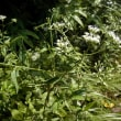 ヒヨドリバナが咲いていた