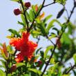 ザクロの花も初夏を代表する花ですね。 (Photo No.14339)