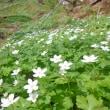 青麻山の二輪草