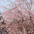 名古屋城と桜 P5