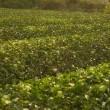茶畑をたのしみながら、三江線