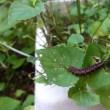 スミレの育て方7月 害虫対策  大きくなっていたツマグロヒョウモン幼虫