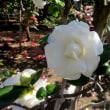 続・氷室椿庭園