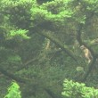 20170820山のクマタカ(出産ラッシュ)