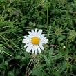 浜菊(はまぎく)という花