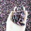 紫花豆の唐箕(とうみ)選