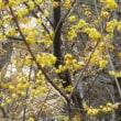 縮景園の冬咲き牡丹