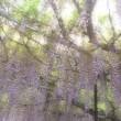 白毫寺の藤