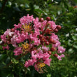 百日紅(サルスベリ)の花は小さくなかった