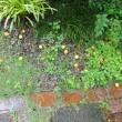 梅の実が庭中に落っこちている