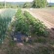 今年初めての収穫・播種