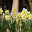 銀葉アカシア、雲南黄梅、白木蓮、ラッパ水仙、開花です。