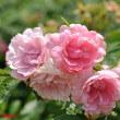 バラは気高く咲いて2018春 生田緑地バラ苑