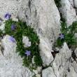 北アルプスの絶景と高山植物を観に「白馬」へ・・・・・