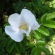旭川 井上靖通り2018夏・シャラノキの花