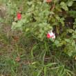 ミクロフィラの赤と白