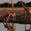 ホロホロドリ/ナミビア・エトーシャ国立公園