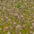 ノゲイトウのお花畑。