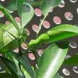 ベランダの夏みかんにアゲハの幼虫・・・3