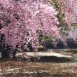 枝  垂  れ  桜
