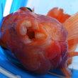 キングコングパロットファイアー(釣査173種目) 奇天烈を釣る! : アヂアヂ台湾お魚旅③