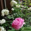 薔薇の良い香り~