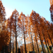 パンジー、ビオラ - 光が丘公園