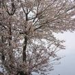 妙高にも桜の便りが・・・