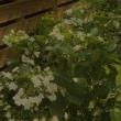6月18日(月曜日)「紫陽花」(チーシさん)