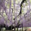 紫の貴婦人たち