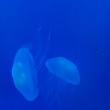 蒼い世界のクラゲ