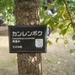 カンレンボク【カ】