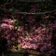 八重桜の散ったあとに