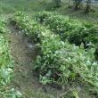麻郷公民館祭り 焼芋用のサツマイモの収獲準備