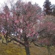柏あけぼの山公園の梅