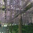 春爛漫の京都 〜 平等院(その2)