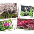 ♪ 桜。ヤマトバラ。つつじ。春もみじ・・・(^^♪ 。。