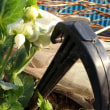 サヤエンドウの開花