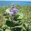 <ハマゴウ(浜拷、浜香)> 海岸の砂地に根を張る海浜植物の代表格