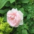 薔薇が咲き出した( ◜ᴗ◝ )