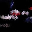 彼岸花 (花 4591)