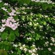 ピンクのヤマボウシの花が