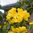12月の花センナと幼いころからの馴染みの菊