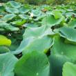 大池のハスとハクチョウ