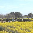 神戸から第1なぎさ公園の菜の花を見物に!