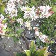 桜桃(ゆすらうめ)という花