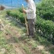 農研、ネギの土寄せ、夏野菜の手入れ