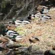 座間「県立谷戸山公園」の紅葉と水鳥の池の「カモ」!!
